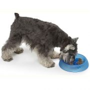 Slow eating dog bowl blue. Schnauzer eating from an eat better bowl.